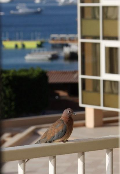 фото альбом Египет Голубь на балконе