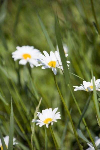 фото альбом Цветы Ромашки