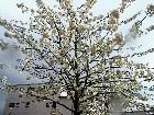 фото - Blooming tree - Trees, plants, flowers... etc