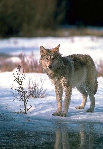 фото альбом ВОЛКИ Волки