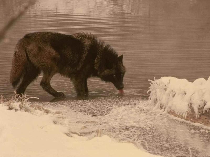фотографии альбом ВОЛКИ Волки