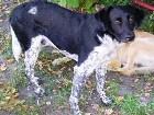 фото - собака ищет дом - Малыш, пес, 1,5 года - ищет хозяев (метис охотника)