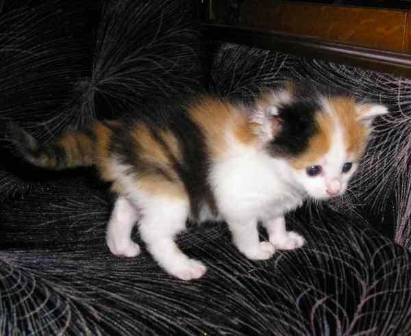фото альбом Трехцветные пушистые котята, 1 месяц Котята ищут дом