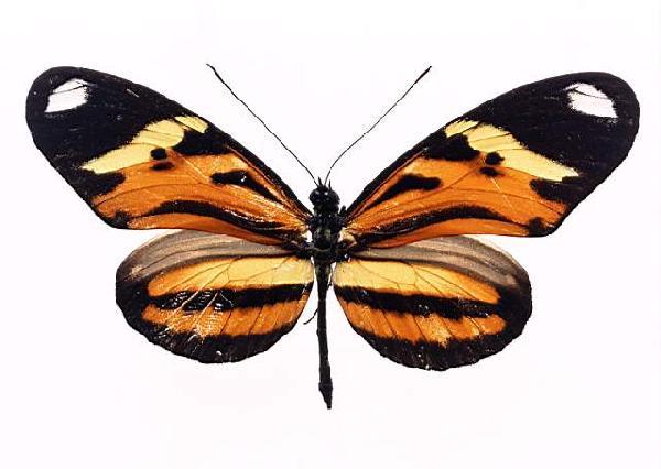 фото альбом Здесь представленна большая коллекция Бабочек Из мира насекомых...Отряд БАБОЧКИ (Lepidoptera) или чешуекрылые. Из всех насекомых бабочки пользуются наибольшей известностью. Вряд ли найдется на свете человек, который не восхищался бы ими так же, как восхищаются красивыми цветами.