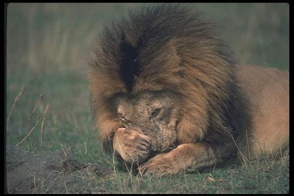 Здесь представленна фотогаллерея Львы & Lions Из мира животных... Лев - это не только ассоциативный Царь Зверей. Это еще и воплощение дуализма: он одновременно и добрый, и злой. Он олицетворяет не только силу, стойкость, справедливость и закон, но и жестокость, свирепость, насилие.