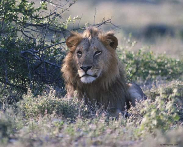 фото альбом Львы,тигры,ягуары,пантеры,леопарды,гепарды,рысь... Красочные фото дикого мира представленны в данной галерее - львы,тигры,ягуары,пантеры,леопарды,гепарды,рысь...
