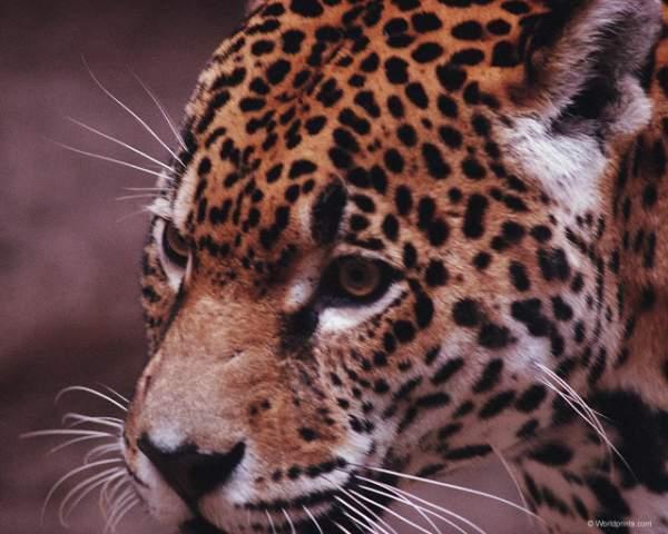фотографии альбом Львы,тигры,ягуары,пантеры,леопарды,гепарды,рысь... Красочные фотки дикого мира представленны в данной галерее - львы,тигры,ягуары,пантеры,леопарды,гепарды,рысь...