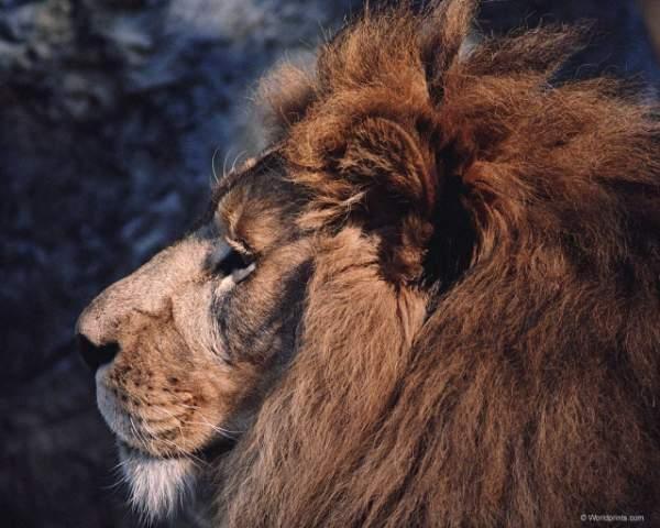 фото альбом Львы,тигры,ягуары,пантеры,леопарды,гепарды,рысь... Красочные фотографии дикого мира представленны в данной галерее - львы,тигры,ягуары,пантеры,леопарды,гепарды,рысь...
