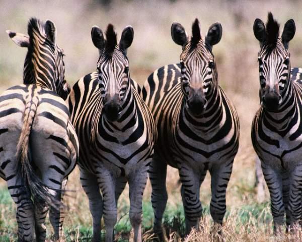 Здесь фотографии африканских животных: cлоны, жирафы, носороги и Красочные фотографии дикого мира африканских животных: слоны, жирафы, носороги и др.