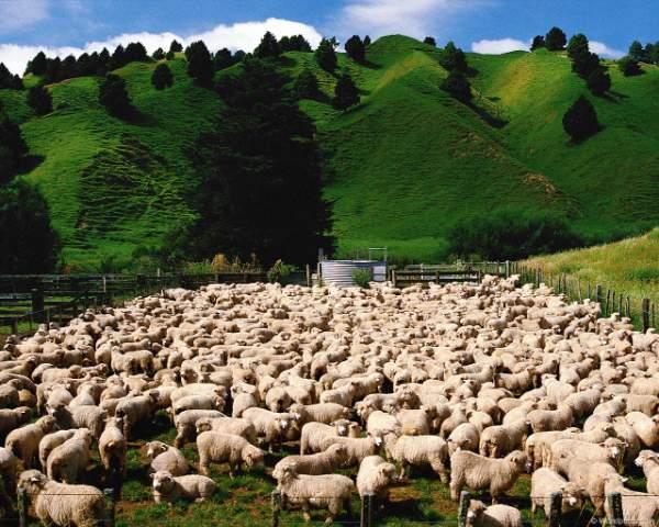 фото альбом Здесь - бизоны, верблюды, олени, ослы, лоси, газели, козлы, ламы В этом фотоальбоме представленны фотографии крупных млекопитающих - бизоны, верблюды, олени, ослы, лоси, газели, козлы, ламы, горные козлы, горные овцы и др.