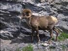 фотографии - В этом фотоальбоме п ... - Здесь - бизоны, верблюды, олени, ослы, лоси, газели, козлы, ламы