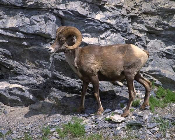 фото альбом Здесь - бизоны, верблюды, олени, ослы, лоси, газели, козлы, ламы В этом фотоальбоме представленны фото крупных млекопитающих - бизоны, верблюды, олени, ослы, лоси, газели, козлы, ламы, горные козлы, горные овцы и др.