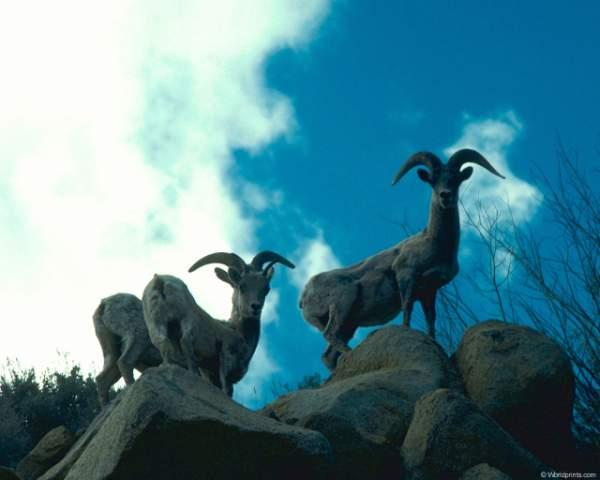 фотографии альбом Здесь - бизоны, верблюды, олени, ослы, лоси, газели, козлы, ламы В этом фотоальбоме представленны фотки крупных млекопитающих - бизоны, верблюды, олени, ослы, лоси, газели, козлы, ламы, горные козлы, горные овцы и др.