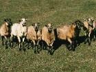 фотографии - В этом разделе предс ... - Здесь - телёнки, быки, куры, жеребцы, овцы, ослы, боров, ягнята,