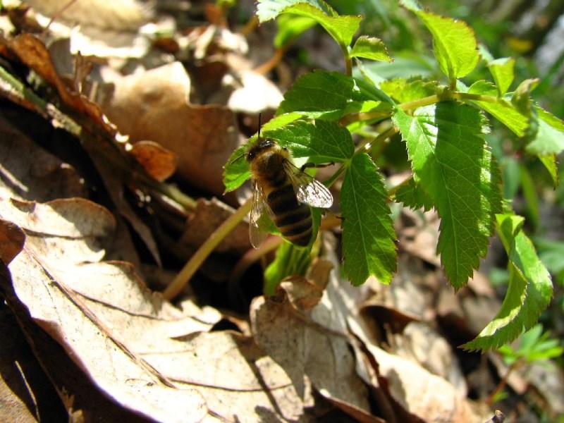 фото альбом Леса, озера - Наш лес 1 Пчела