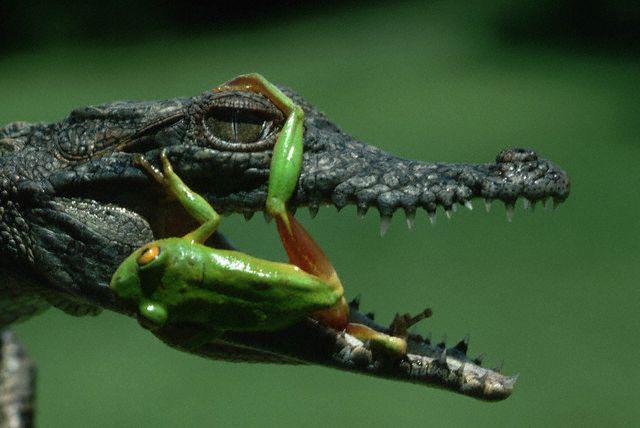 фото альбом Лягушки Crocodile Frog
