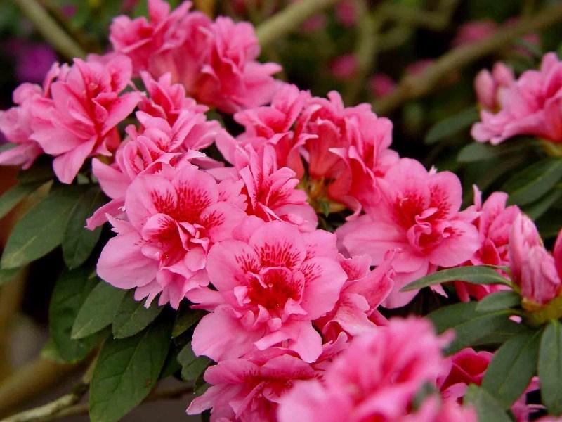 фото альбом Киев. Ботанический сад. Тропики. 2005 Азалия