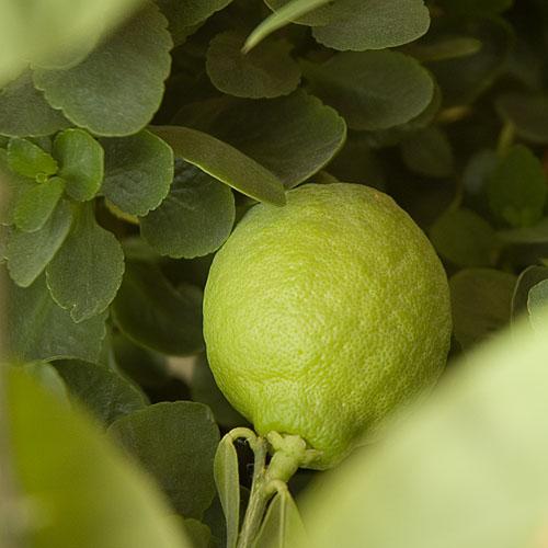 фото альбом Лимон цветущий и плодоносящий лимон на моем окне