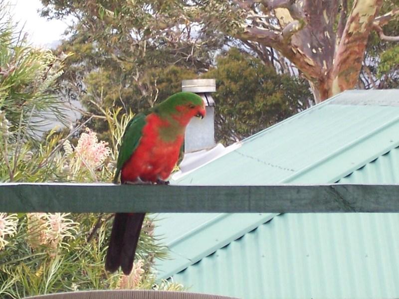 фото альбом Птицы Австралии Попугаи