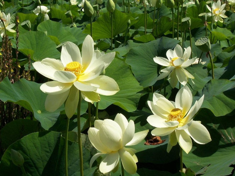 фото альбом Флора Австралии ...Там лилии цветут...