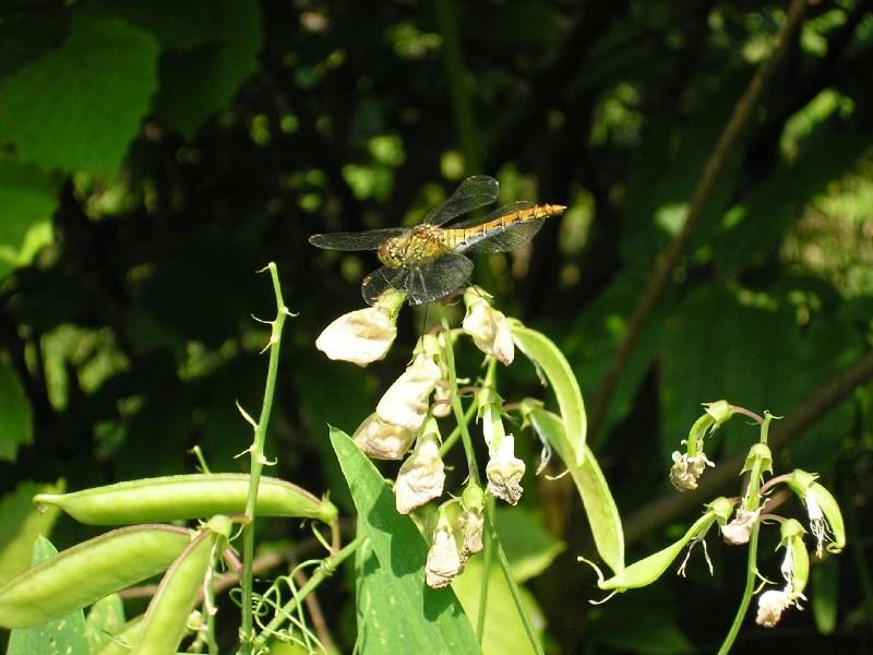 фото альбом Насекомые и растения Стрекоза