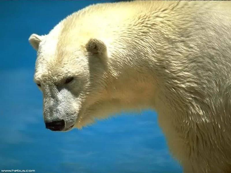 фото альбом Wallpapers - животные (медведи, лошади, дельфины, коты и др.) Медведи