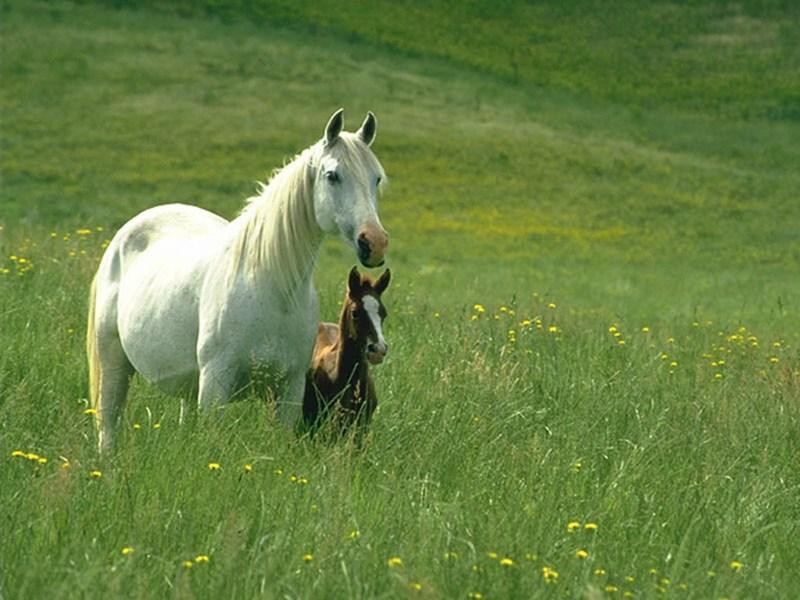 фото альбом Wallpapers - животные (медведи, лошади, дельфины, коты и др.) Лошади, обои