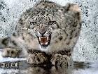 фото - Wallpaper тигры - Wallpapers - животные (медведи, лошади, дельфины, коты и др.)
