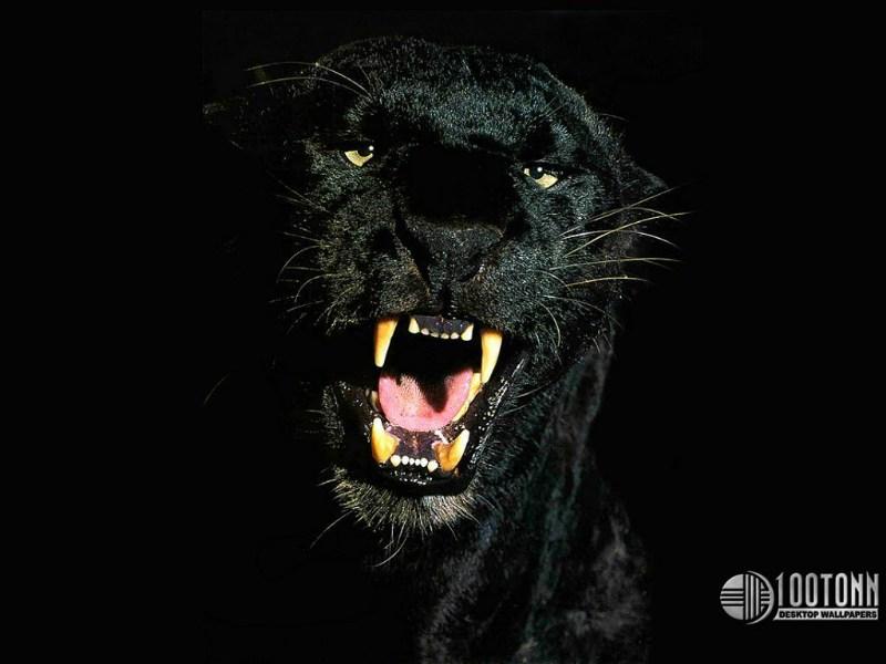 фото альбом Wallpapers - животные (медведи, лошади, дельфины, коты и др.) Wallpaper тигры
