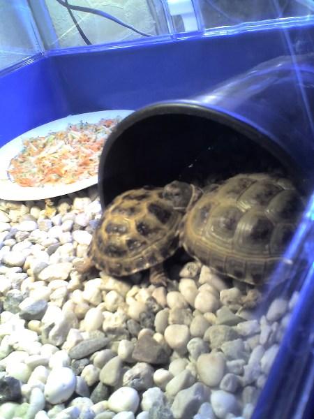 фото альбом Сухопутные черепахи Дино и Завра (она любит спать положив на него голо