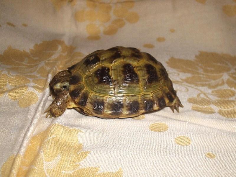 фото альбом Сухопутные черепахи Дино (среднеазиатский, 4-5 лет)