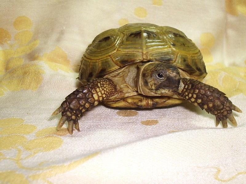 фотографии альбом Сухопутные черепахи Завра (среднеазиатская, самка, 6-7 лет)