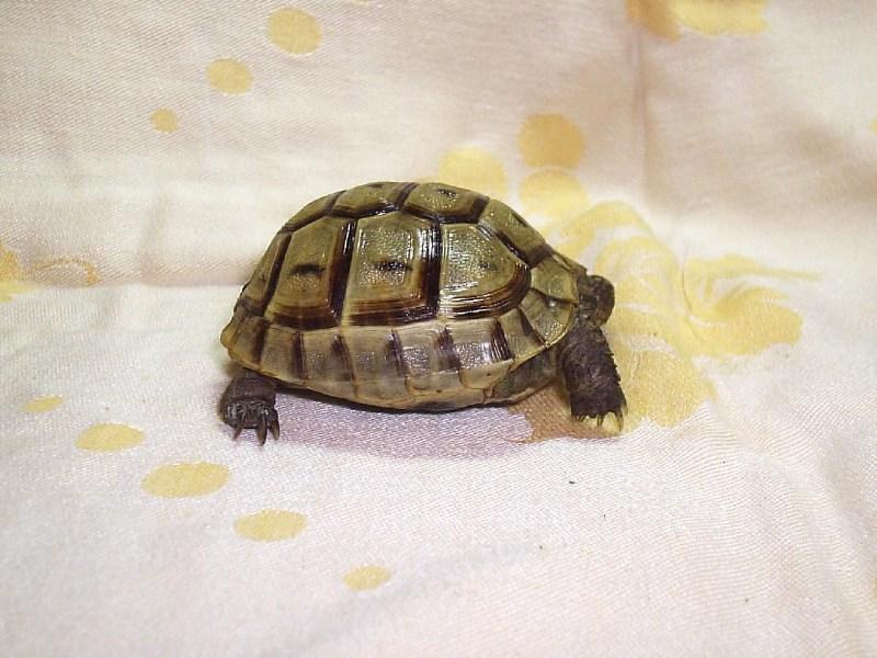 фото альбом Сухопутные черепахи Уран (среднеземноморский самец, 2 года)