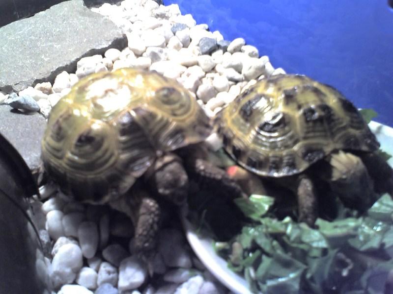 фото альбом Сухопутные черепахи Дино и Завра кушают