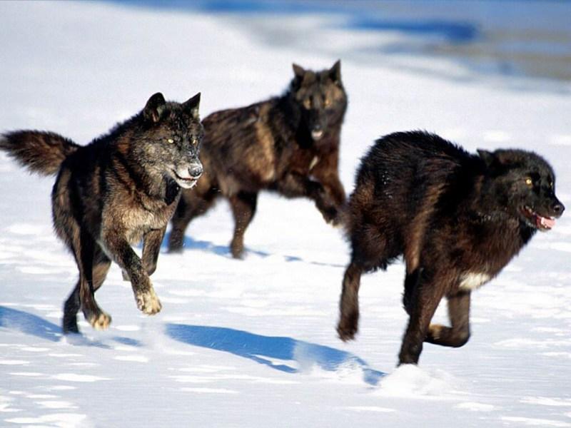 фотографии альбом Стаи 2 и больше волка