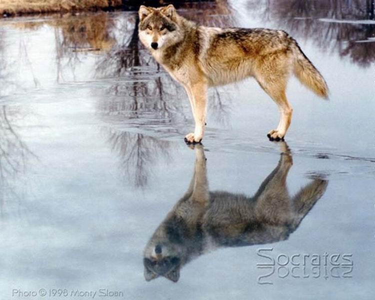 фото альбом Рыжие картинки рыжих волков