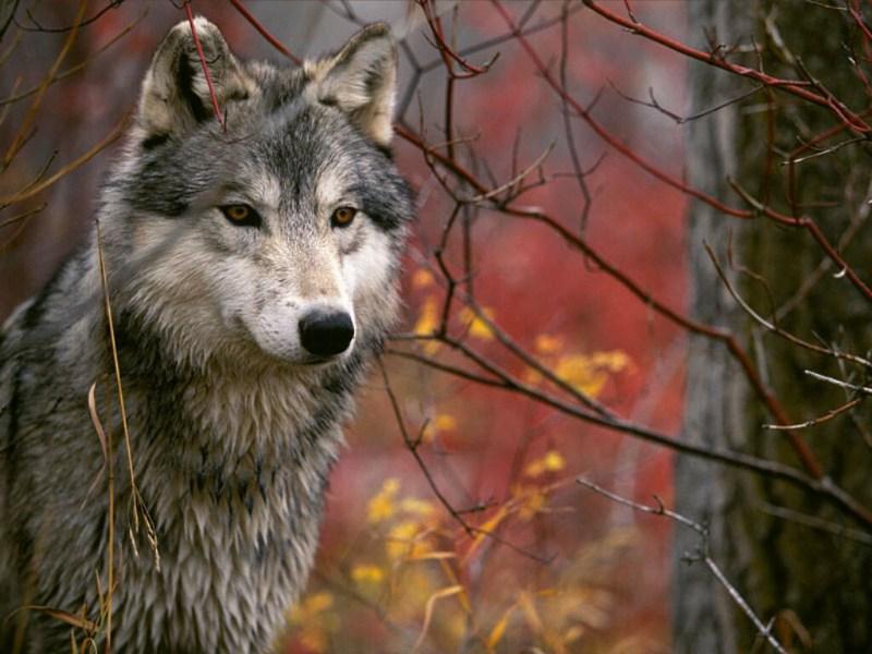 фотографии альбом Серые картинки серых волков