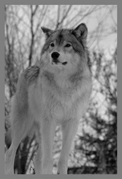 фото альбом Серые картинки серых волков