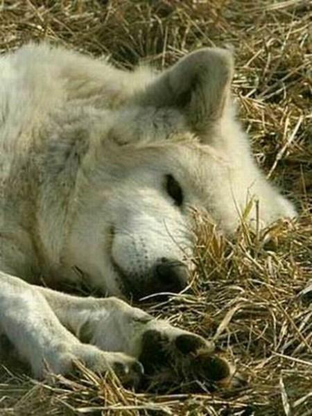 фото альбом Белые картинки белых волков