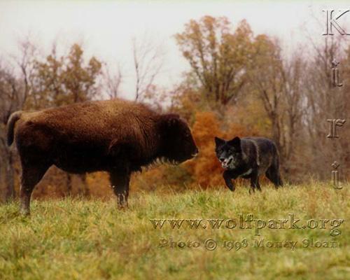 фото альбом Черные картинки черных волков