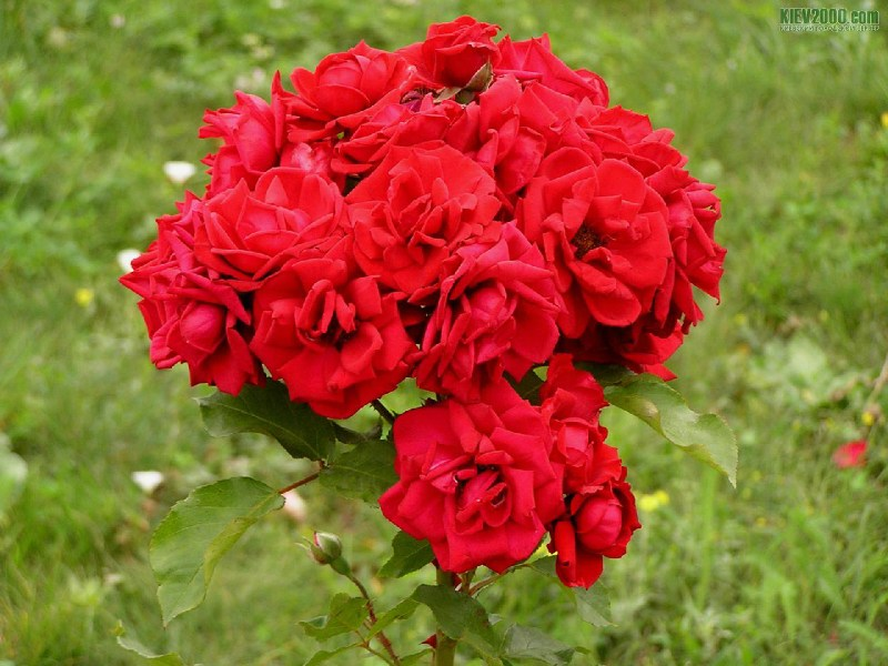 фото альбом Цветы Кустик красных роз