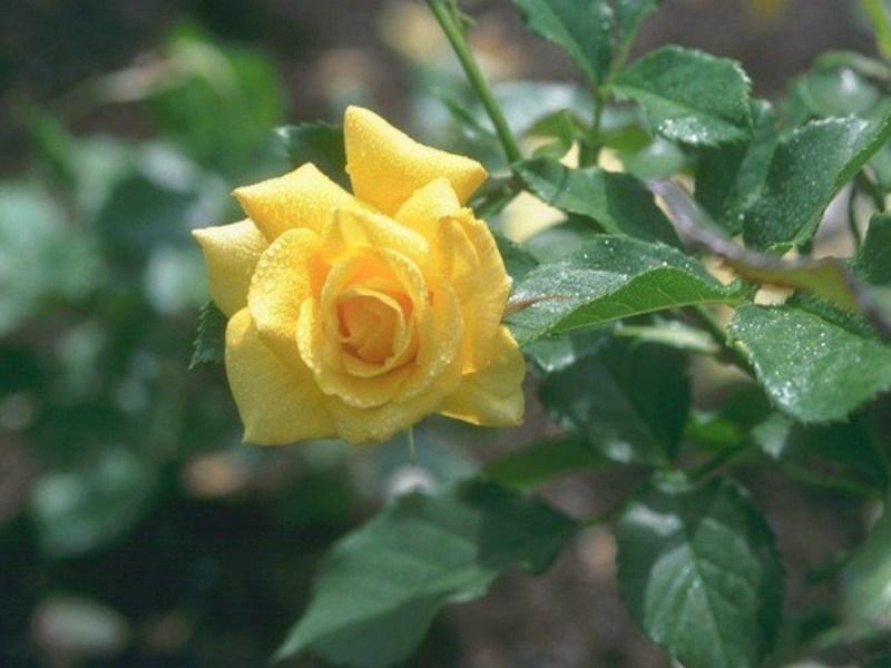 фотографии альбом Цветы Желтая роза