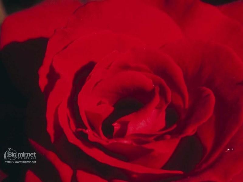 фото альбом Цветы Красная роза 2