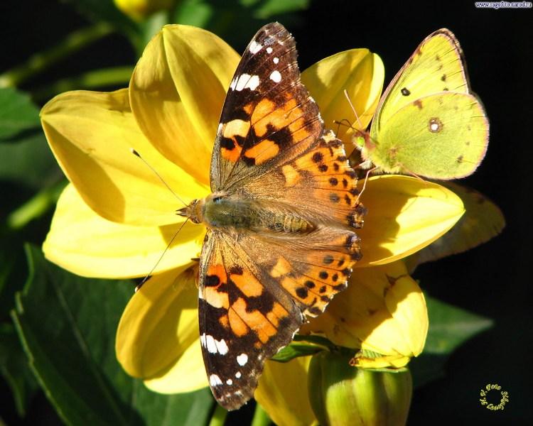 фото альбом Бабочки