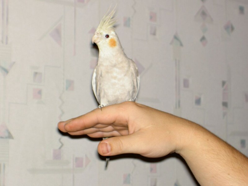 фото альбом Попугай Карелла
