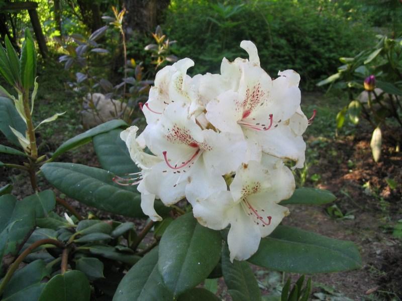 фото альбом Мои рододендроны Rhododendron