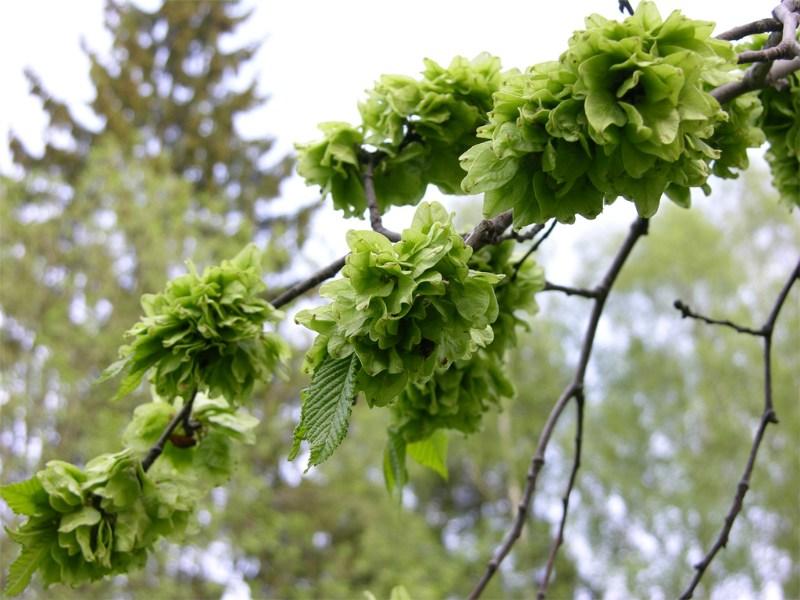 фото альбом Деревья и кустарники Ulmus scabra
