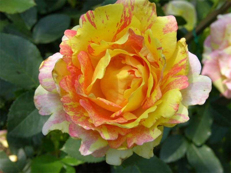 """фото альбом Роза """"Rose des Cisterciens""""  """"Delbard"""" (Франция) Роза """"Rose des Cisterciens""""  """"Новые одежды"""""""