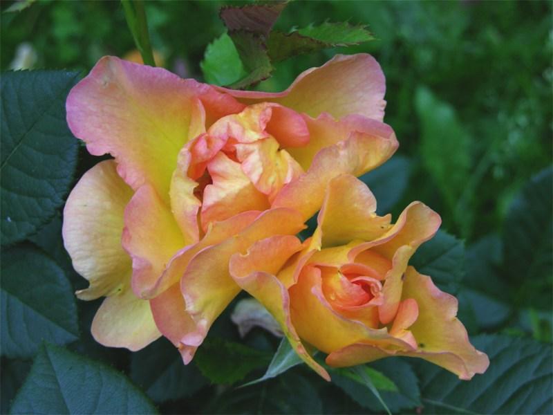 """фото альбом Канадские розы Роза """"Morden Sunrise"""" Оттенки меняются."""