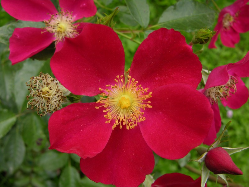 фото альбом Роза  Purple Haze (Tantau) Роза  Purple Haze